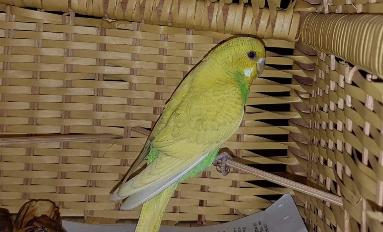 Found: Yellow Budgie - Missing Birds Singapore